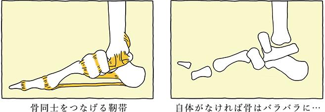 骨同士をつなげる靭帯 靭帯がなければ骨はバラバラに…