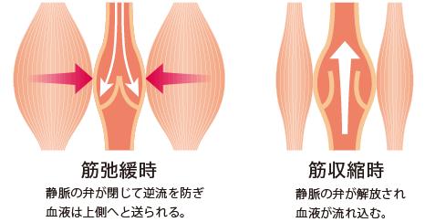 筋弛緩時:静脈の弁が閉じて逆流を防ぎ血液は上側へと送られる 筋収縮時:静脈の弁が解放され血液が流れ込む